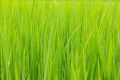 绿色叶子米 库存图片