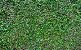 绿色叶子纹理或背景 免版税库存照片