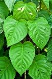 绿色叶子背景在自然公园。 免版税库存照片