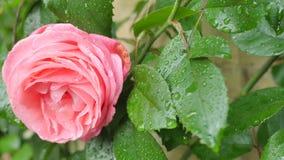 绿色叶子背景的桃红色罗斯  在玫瑰的芽的顶部照相机运动在大桃红色罗斯关闭的 股票录像