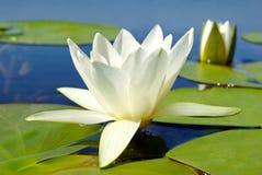 绿色叶子背景的白百合开花的湖  免版税库存照片