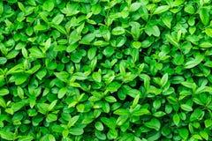 绿色叶子背景,叶子纹理,灌木,明亮的充满活力的颜色,无缝的背景模板,夏天,春天 免版税库存照片