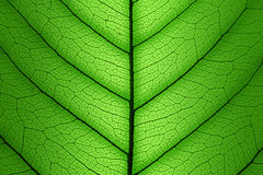 绿色叶子胞状结构背景-宏观纹理 免版税库存照片