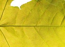 黄色叶子胞状结构 免版税库存图片