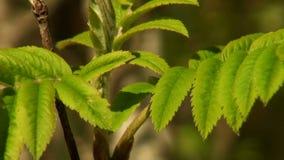 绿色叶子花揪 影视素材