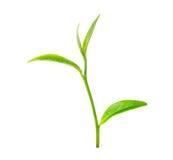 绿色叶子茶 免版税库存图片