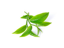 绿色叶子茶 库存图片