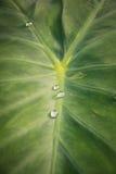 绿色叶子莲花用水为背景滴下 免版税库存照片