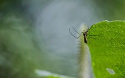 绿色叶子蚊子 图库摄影