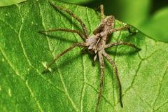 绿色叶子蜘蛛 免版税库存照片