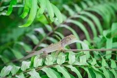 绿色叶子蜥蜴 免版税图库摄影