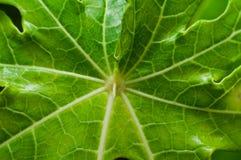 绿色叶子静脉 库存照片