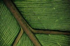 绿色叶子静脉 免版税库存照片
