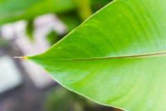 绿色叶子香蕉纹理在泰国。 免版税图库摄影