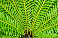 绿色叶子鸟巢蕨 库存照片