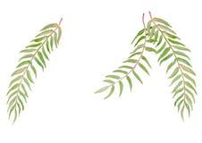 绿色叶子水彩例证传染媒介背景 免版税图库摄影