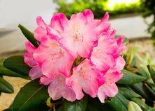 绿色叶子围拢的桃红色花花束  免版税库存图片