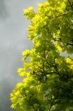 绿色叶子-灰色云彩 图库摄影