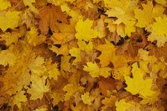 黄色叶子 库存图片