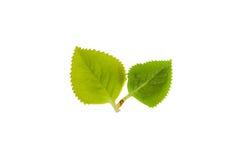 绿色叶子& x28; Plectranthus amboinicus & x28; Lour & x29; & x29;在白色背景的孤立 库存照片