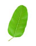 绿色叶子Pho叶子, & x28; bo生叶, bothi leaf& x29;隔绝在白色 免版税图库摄影