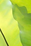 绿色叶状体背景 库存图片