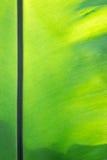 绿色叶状体背景 免版税库存图片