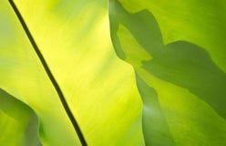 绿色叶状体背景 免版税库存照片