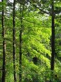 绿色叶茂盛树 免版税库存图片
