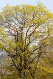 绿色叶茂盛结构树 库存照片