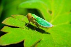 绿色叶蝉 免版税图库摄影