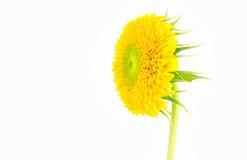 黄色向日葵关闭与花萼 免版税库存照片
