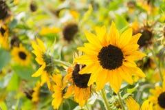 黄色向日葵美丽的花  免版税库存照片