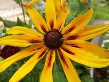黄色向日葵花 库存照片