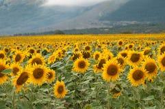 黄色向日葵领域在夏日 库存图片