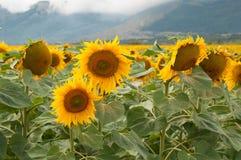 黄色向日葵领域在夏日 免版税库存照片