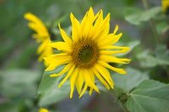 黄色向日葵绽放 免版税库存照片