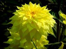 黄色向日葵 免版税库存照片