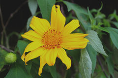 黄色向日葵 图库摄影