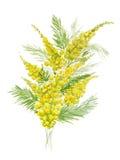 黄色含羞草分支的水彩例证在白色背景的 向量例证