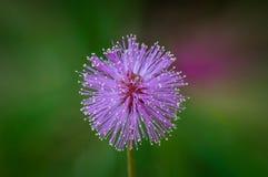 紫色含羞草在佛罗里达,美国 1/2 免版税库存照片