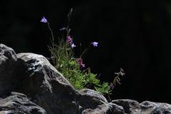 黑色和会开蓝色钟形花的草 库存照片