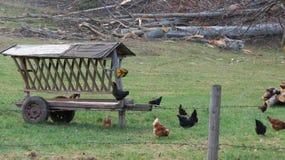 黑色和布朗鸡 免版税库存图片