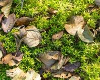 绿色和新生苔背景 图库摄影