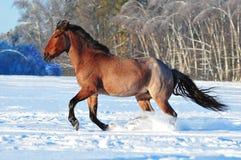 黑色和栗子马在沙漠 免版税图库摄影