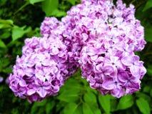 紫色和桃红色花 免版税图库摄影