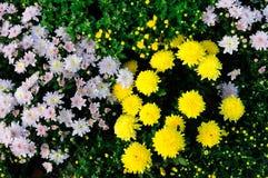 黄色和桃红色菊花 免版税库存图片
