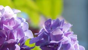 紫色和桃红色霍滕西亚 库存照片