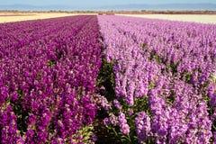 紫色和桃红色 库存照片