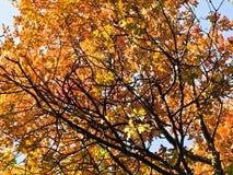 黄色和桔子在蓝天背景离开秋天在贝尔格莱德 库存图片